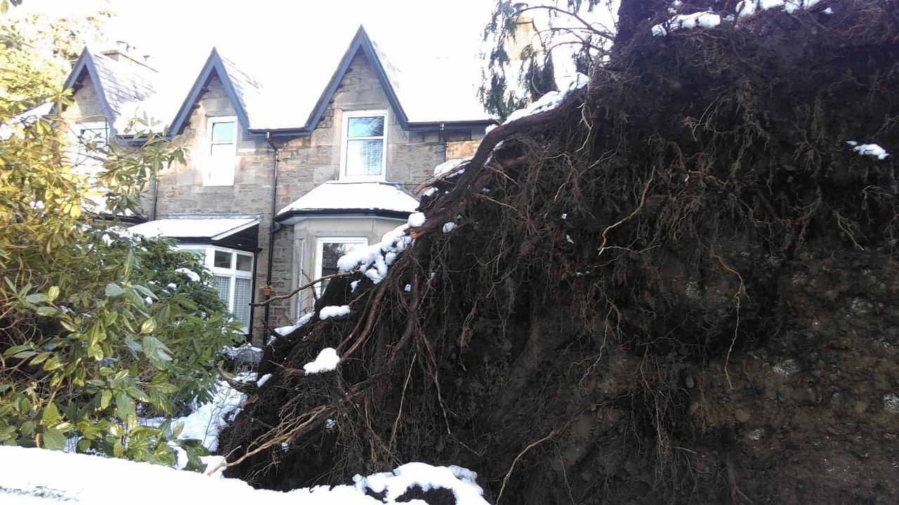 The fallen tree in Inverness