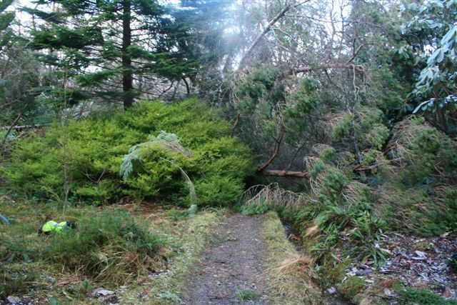 Trees which were blown over at Inverewe Gardens during the storms