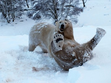 Arktos and Walker wrestle in the snow