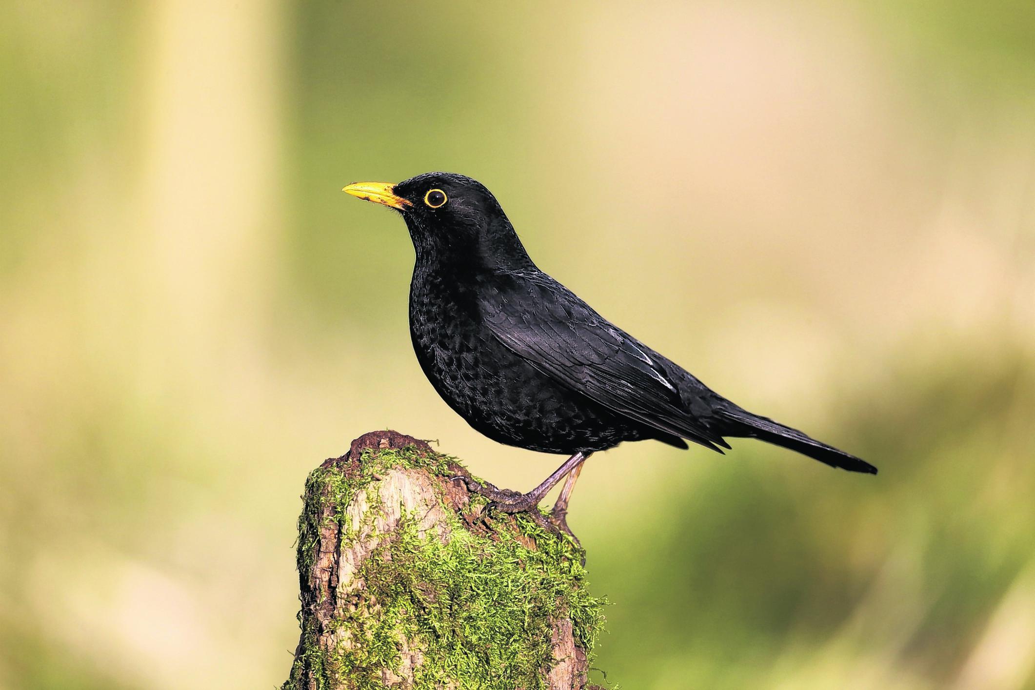 A blackbird