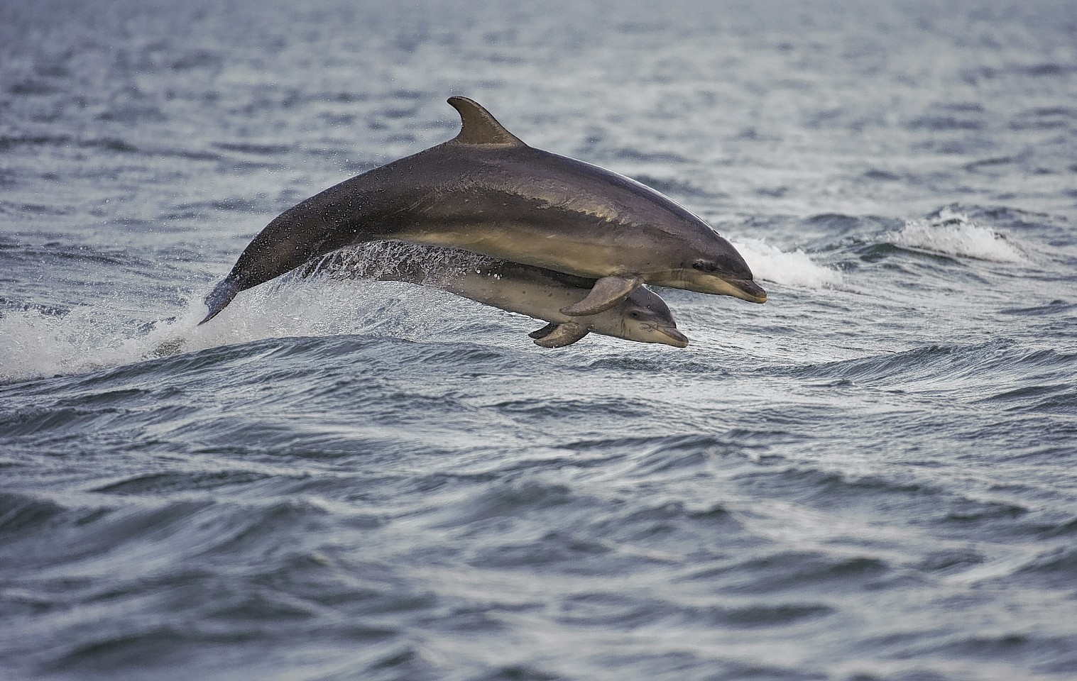 Bottlenose dolphins are