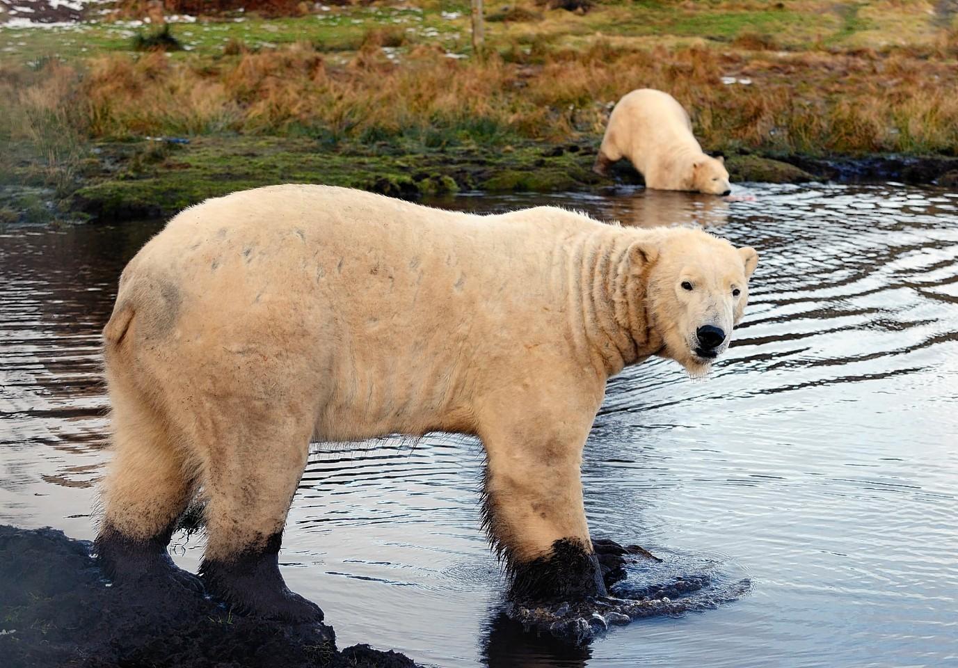 Scotland's only polar bears, Walker and Arktos, celebrate International Polar Bear Day