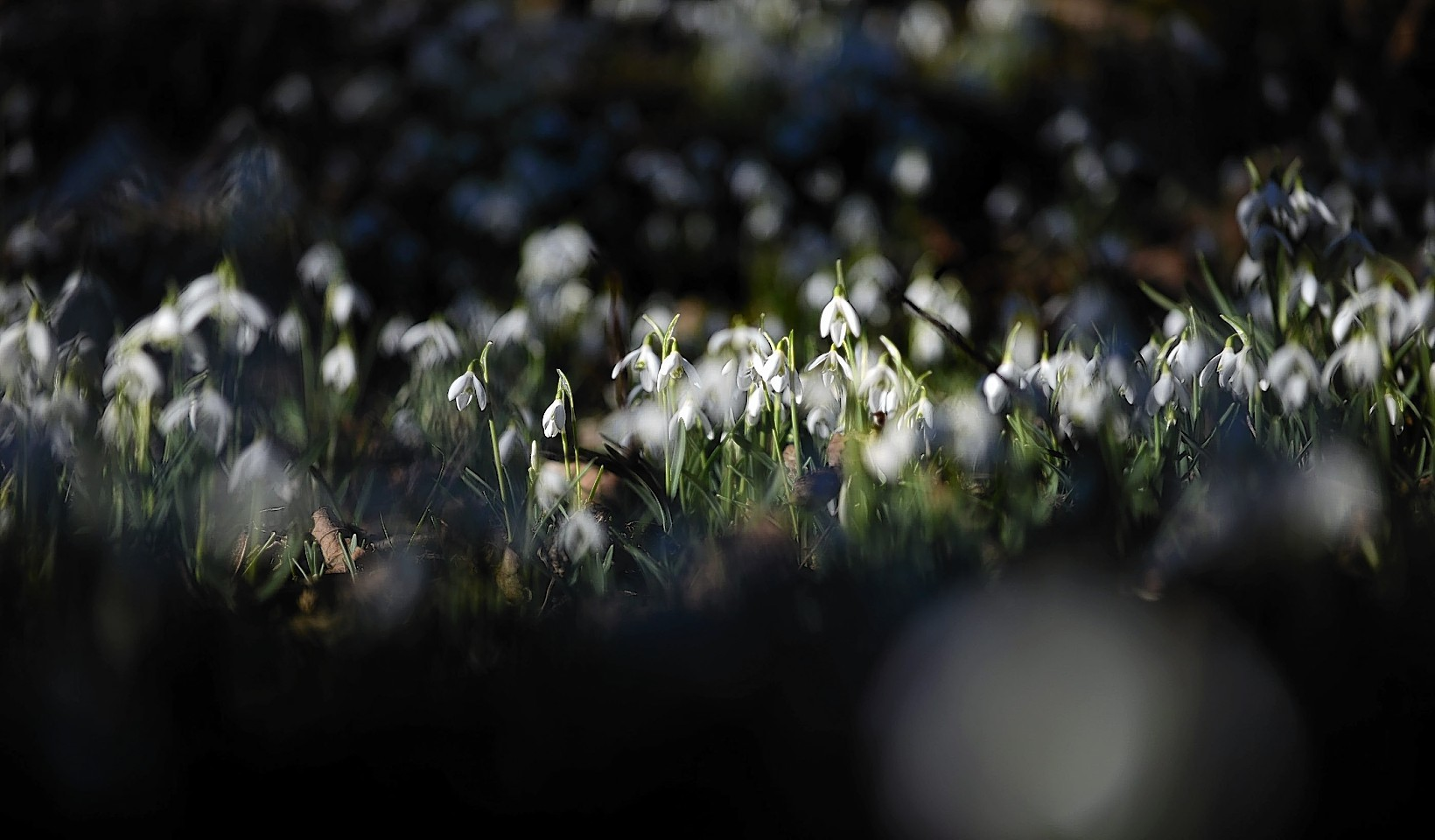Snowdrops at the House of Dunn near Montrose