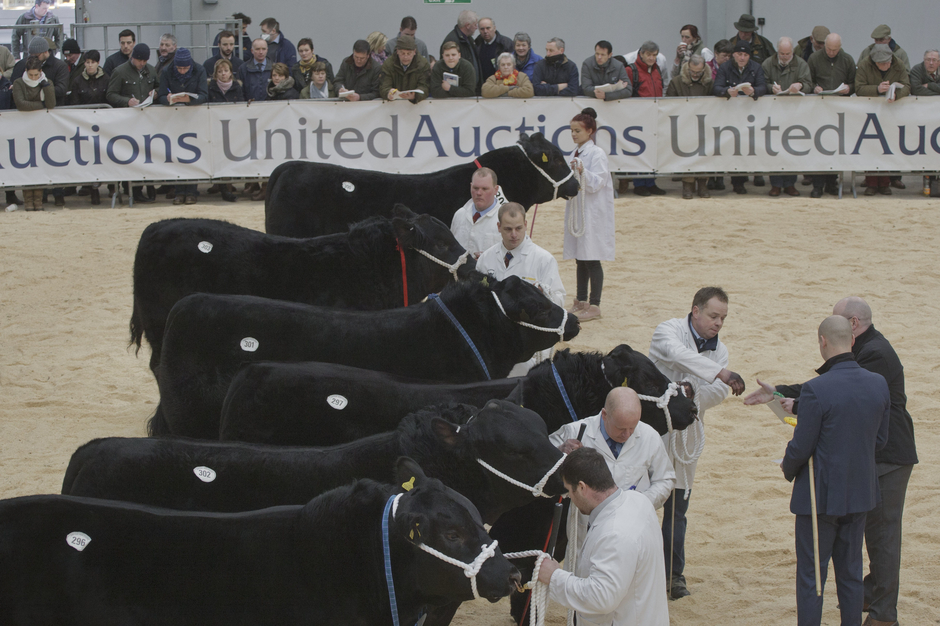 Aberdeen-Angus at the Stirling Bull Sales last week