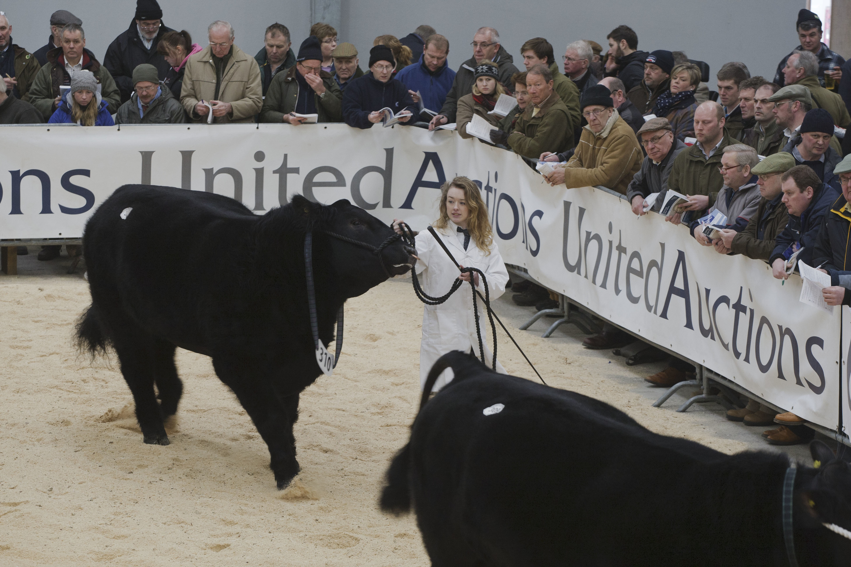 Aberdeen-Angus bulls go round the show ring at the Stirling Bull Sales