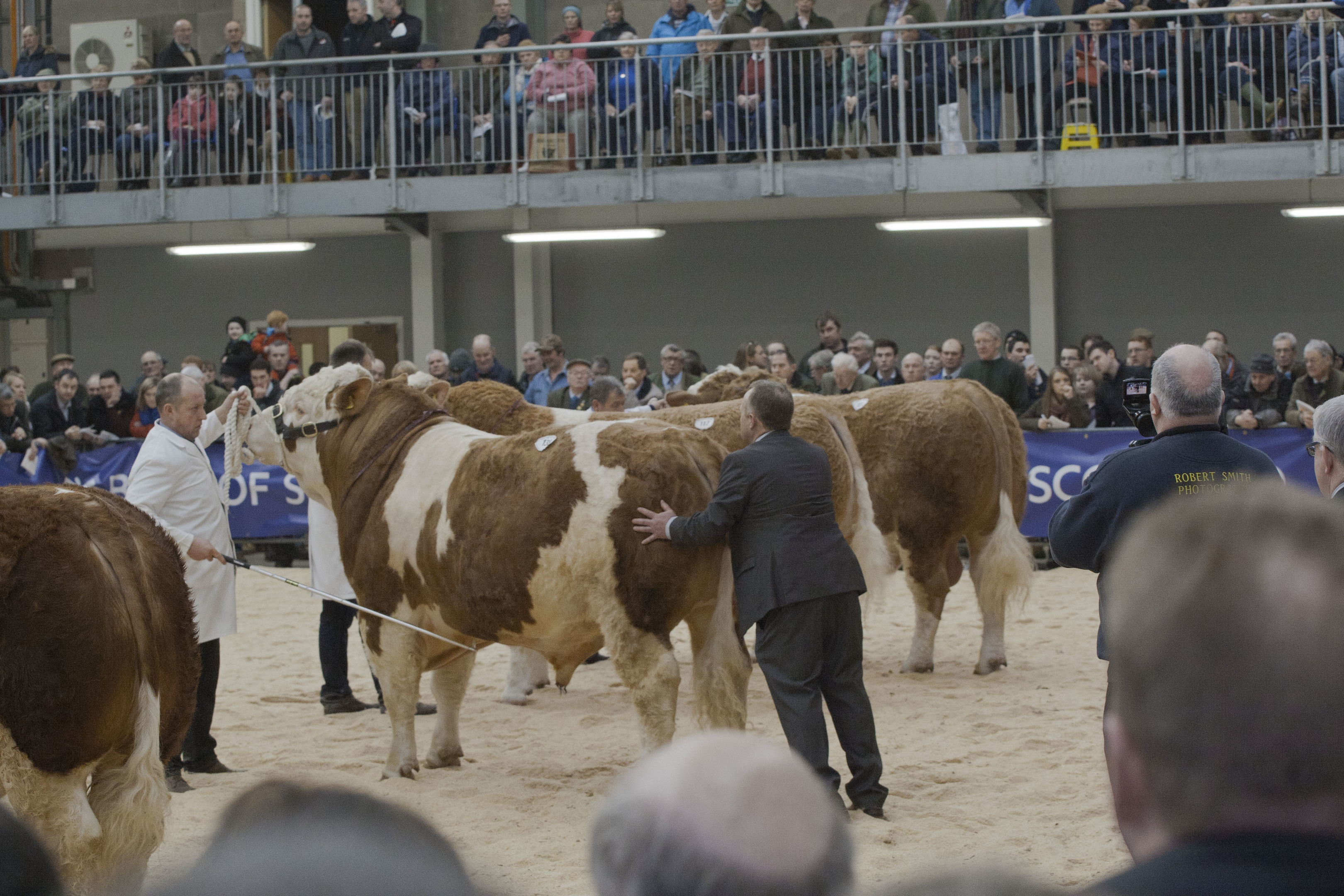 Bulls being judged at the Stirling Bull Sales