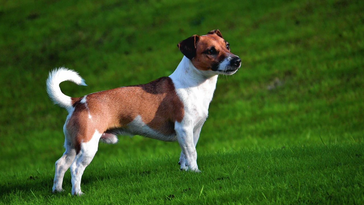This is Rocky, the 16-month-old Jack Russell who lives with the Ewen family in Nairn.