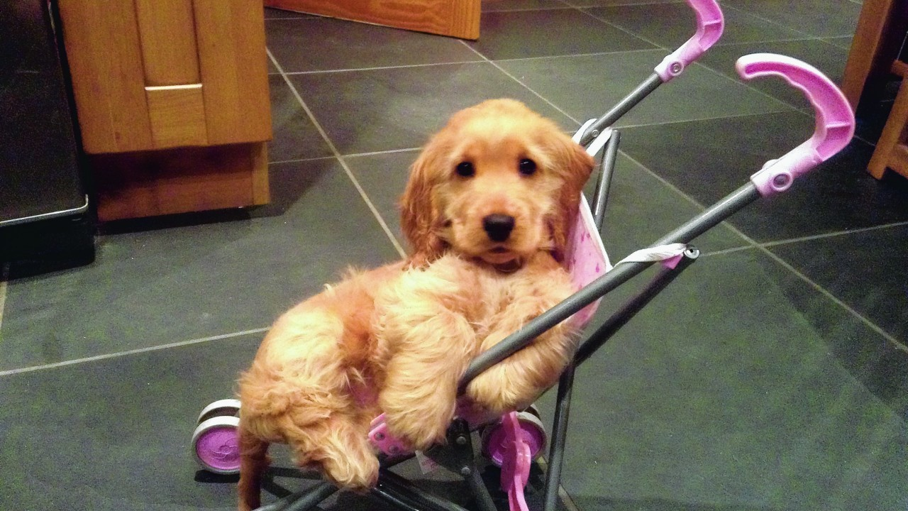 Sammy the golden cocker spaniel puppy gets very excited playing with his owners' toys. He lives with John, Donny and Eilidh Murray from Lewis.