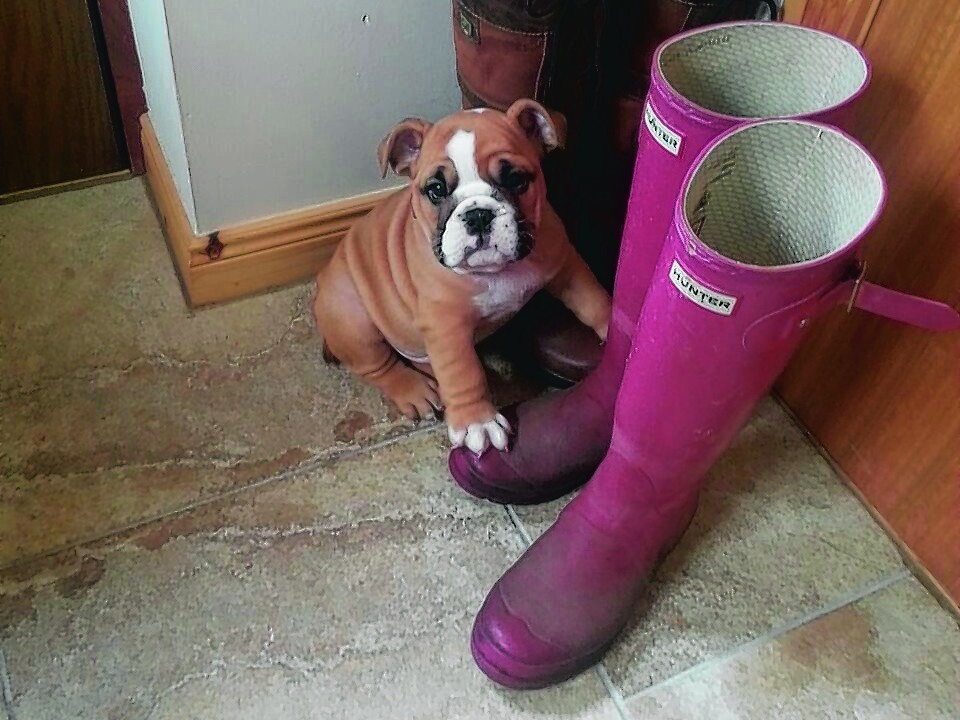 Wallace the bulldog puppy lives with Joyce and Neil Routledge of Inverugie, Hopeman.