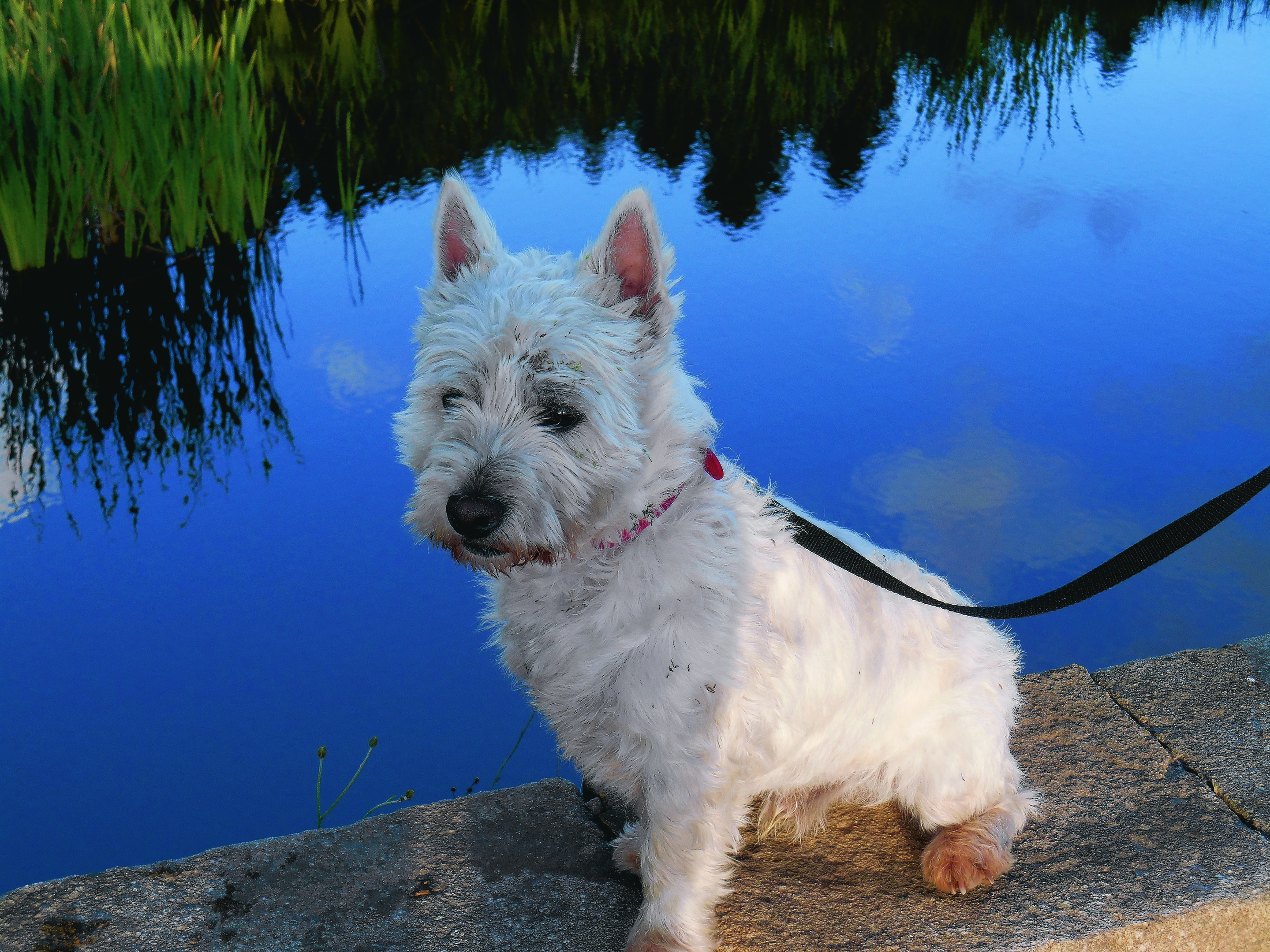 Whisky enjoys a walk round Pitfour Lake.  He lives with Frances Norrie in New Deer.