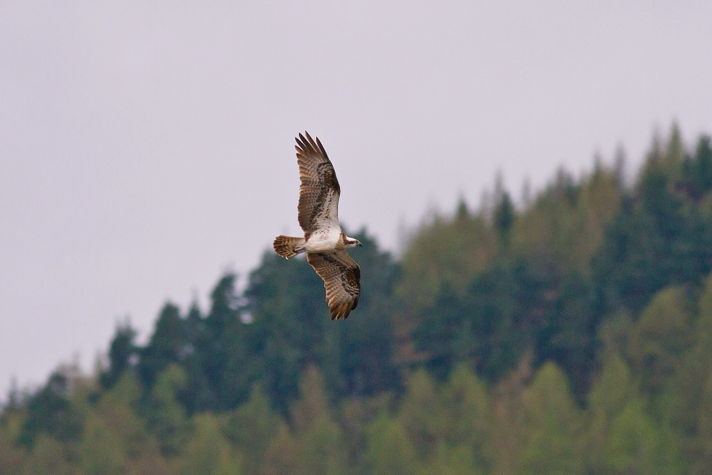 Lady the osprey on her homecoming last year