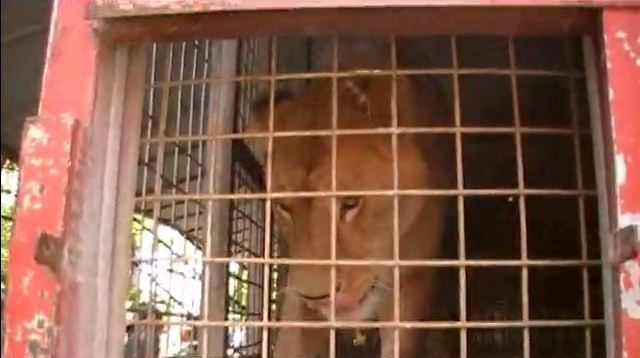 One of the caged ex-circus lions in Belgium