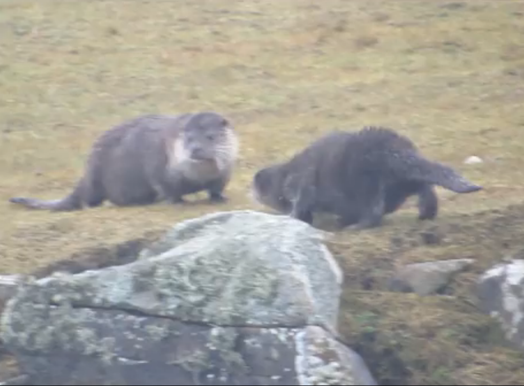The adorable otters caught on camera
