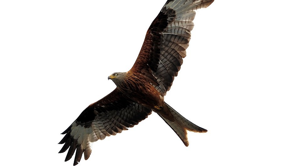 The appointment comes amid a long-running police investigation into the poisoning of 16 raptors - 12 red kites and four buzzards - in the Black Isle last year