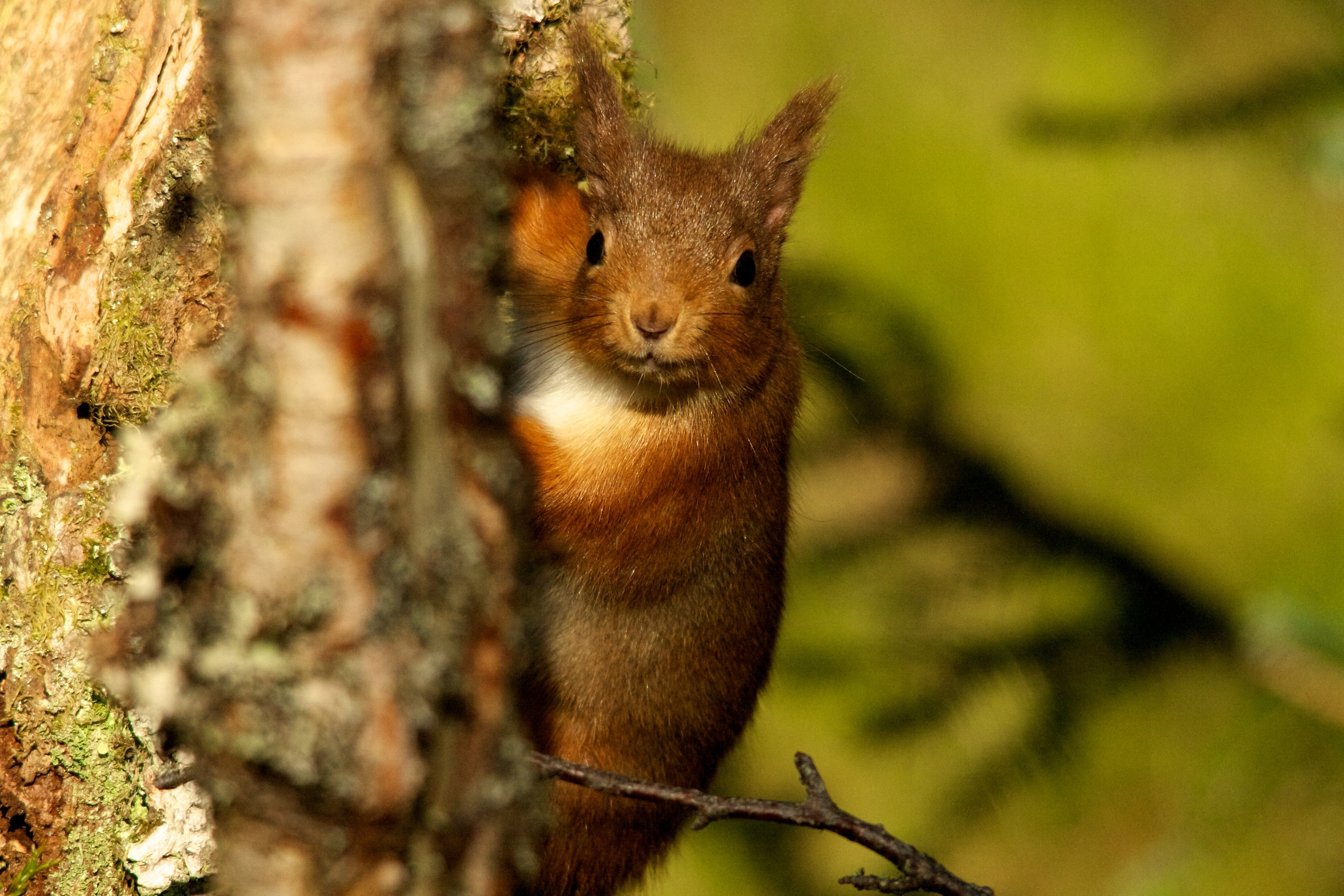 A red squirrel photographed by Stephen Willis