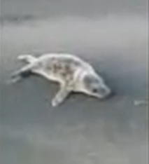 The seal was found wandering near Banff police station