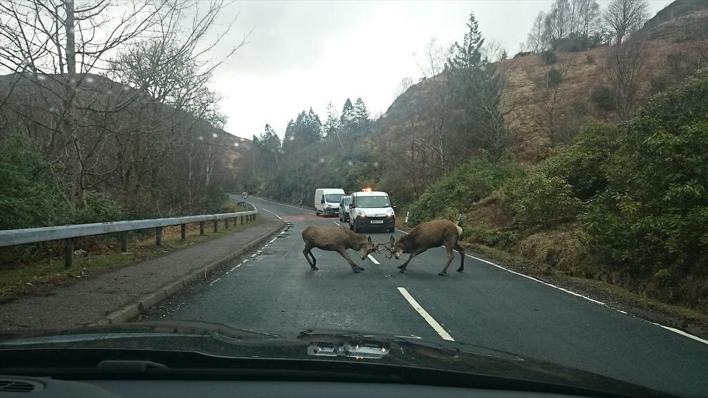 Jon Gibb's picture of two deer fighting on the road