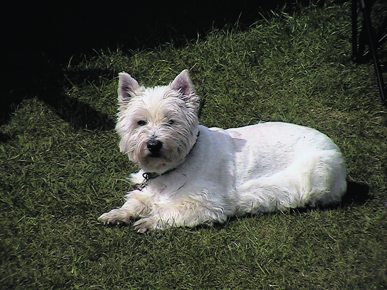 Here is Dusty the westie enjoying the sunshine with Ivor Taylor in Huntly.