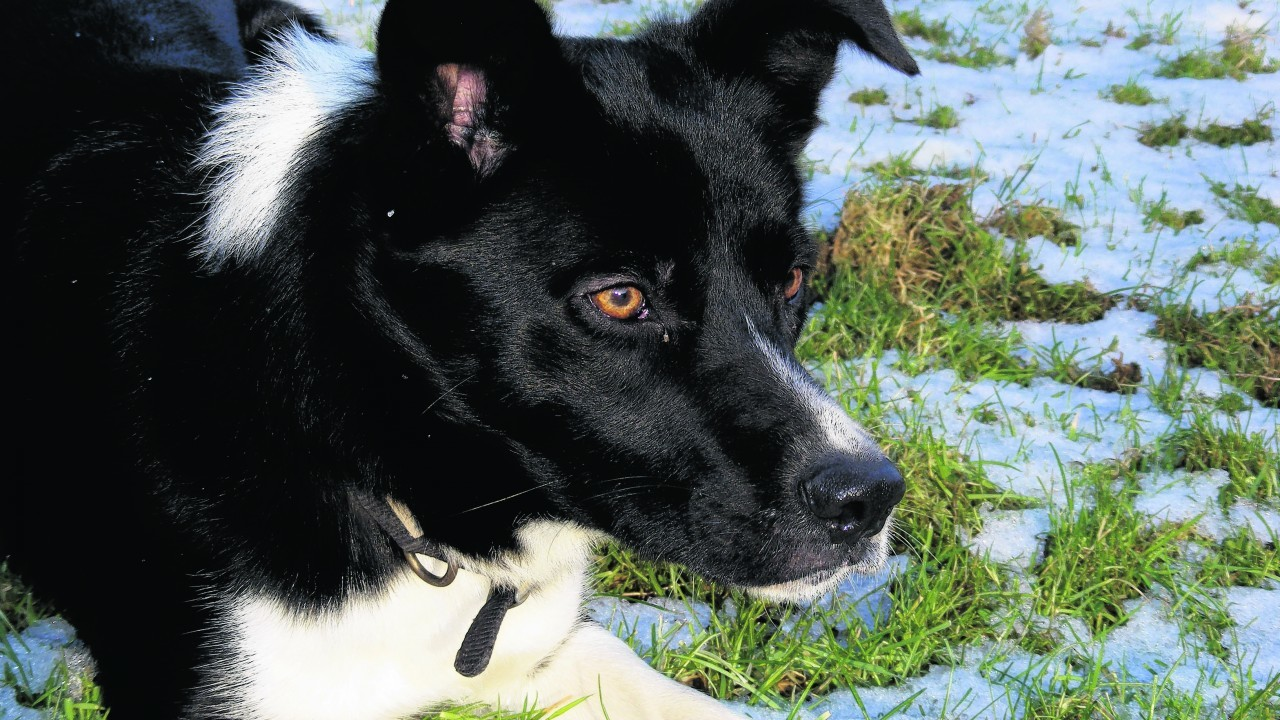 This is Moss, a two year old working border collie belonging to Alan Bradley from Gartly.