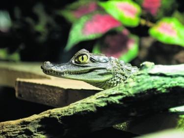 St Andrews Aquarium - Crocodiles