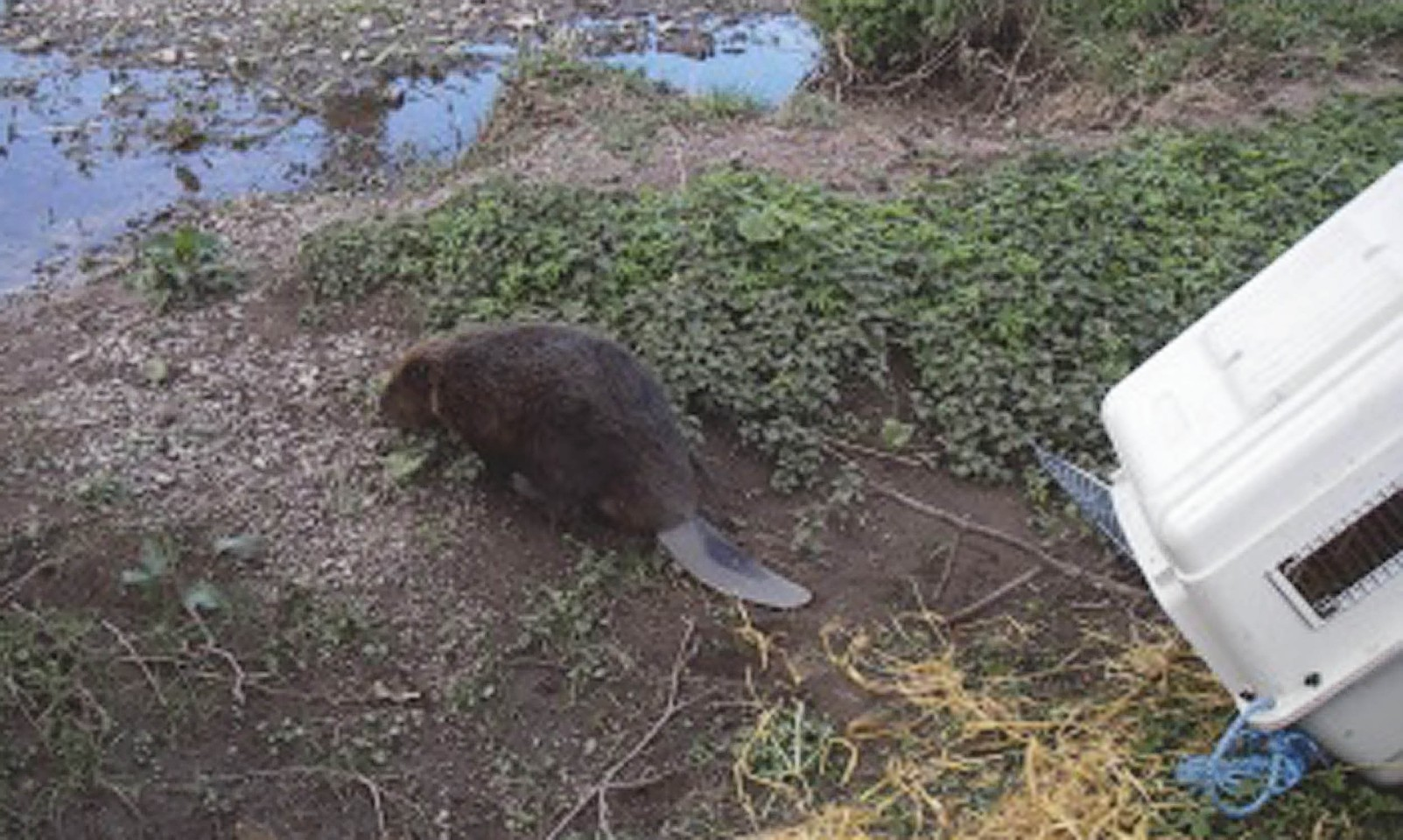 Bavarian beaver are thriving after escaping
