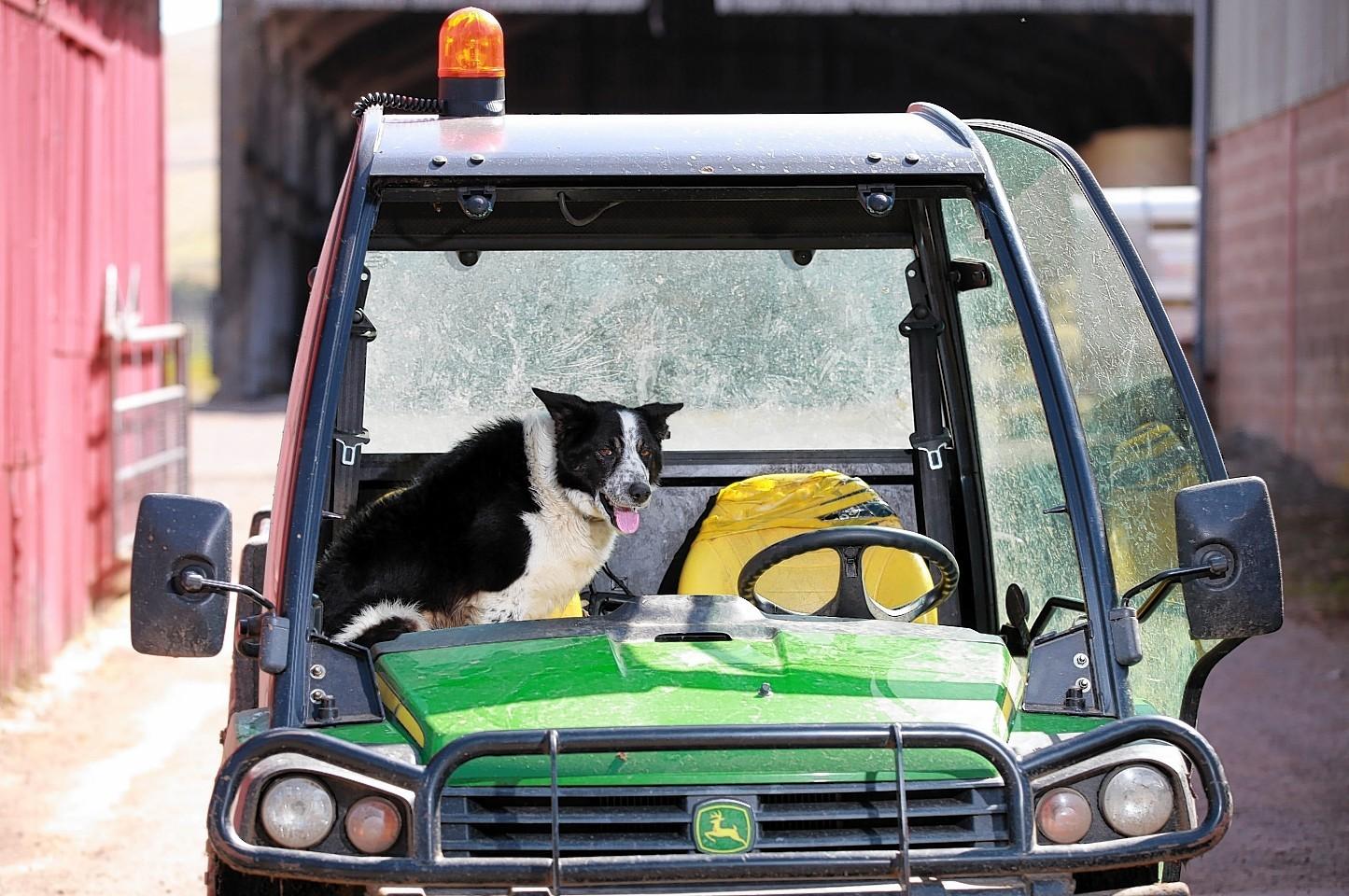 Don the dog of Kirkton Farm near Abington after he crashed the farm vehicle onto the M74