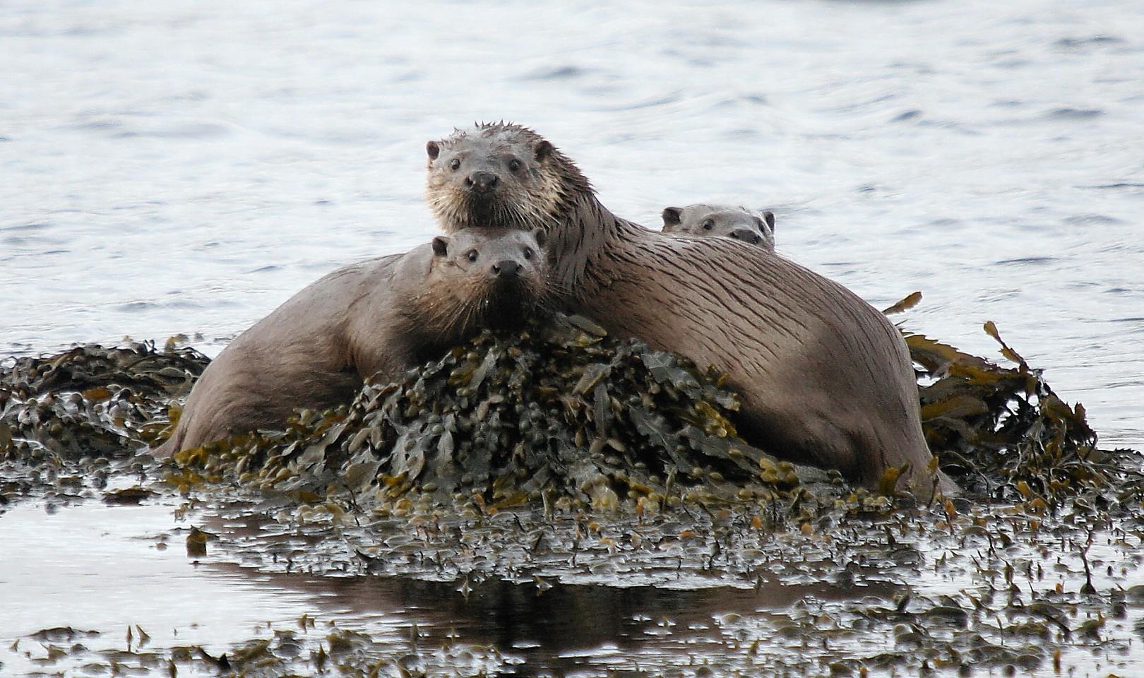 Otter traps found