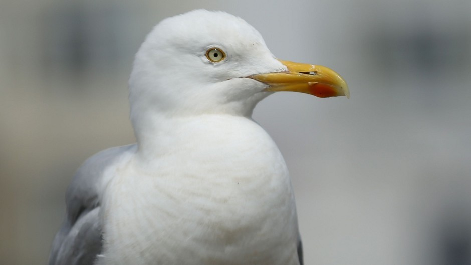 Seagulls are a known nuisance in the north-east.