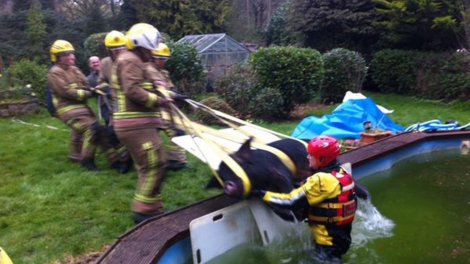 Firefighters rescue a pig from a swimming pool at a house in Hampshire (DC East Dorset FRS/@andyjamescole/Twitter/PA)