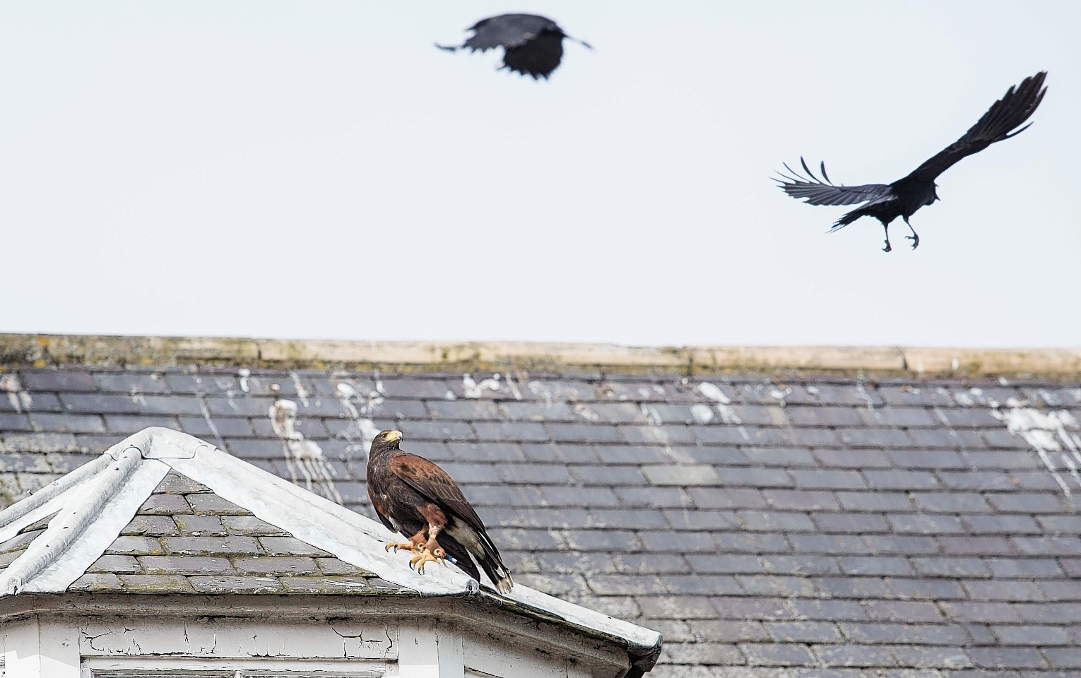 A hawk gets into action in Stonehaven