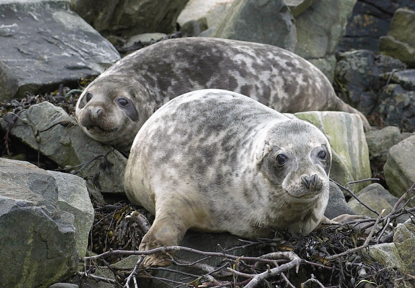 The team investigated the prevalence and origin of salmonella in free-ranging and stranded grey seal pups