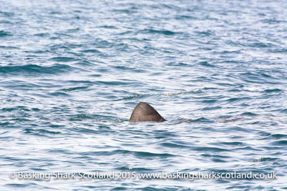 FIrst basking shark to be seen in Scottish waters this year