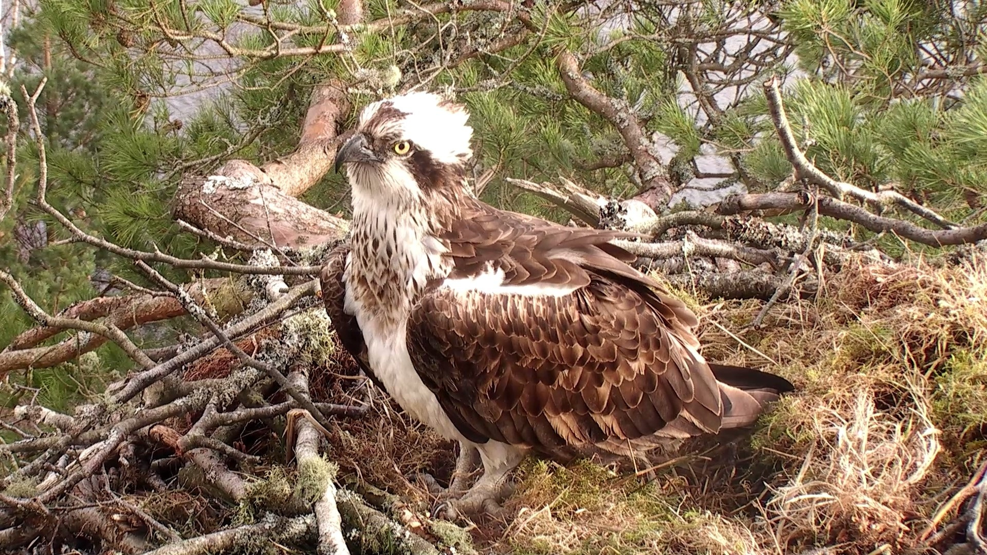 The new female osprey