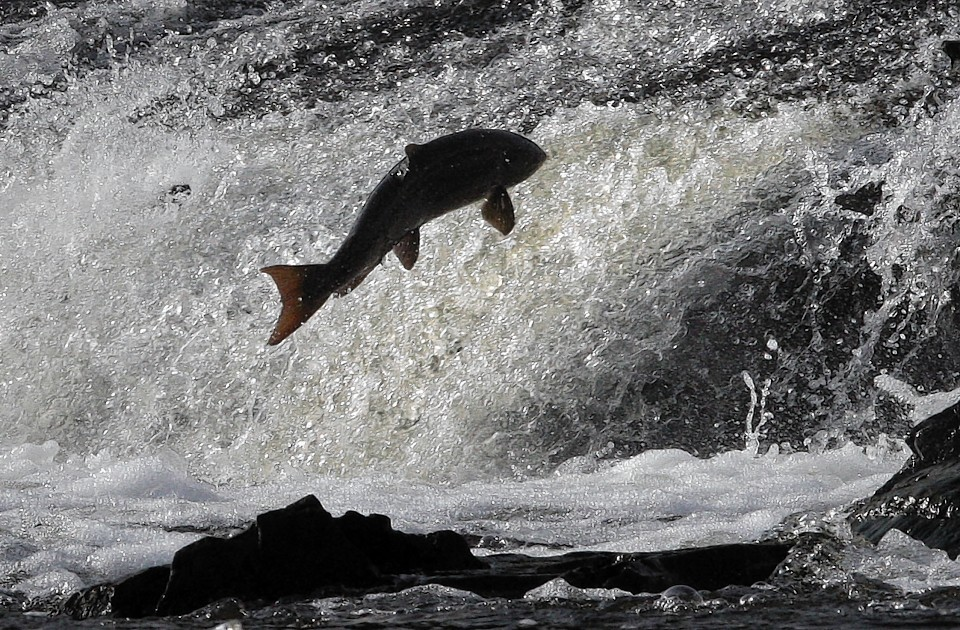A jumping salmon