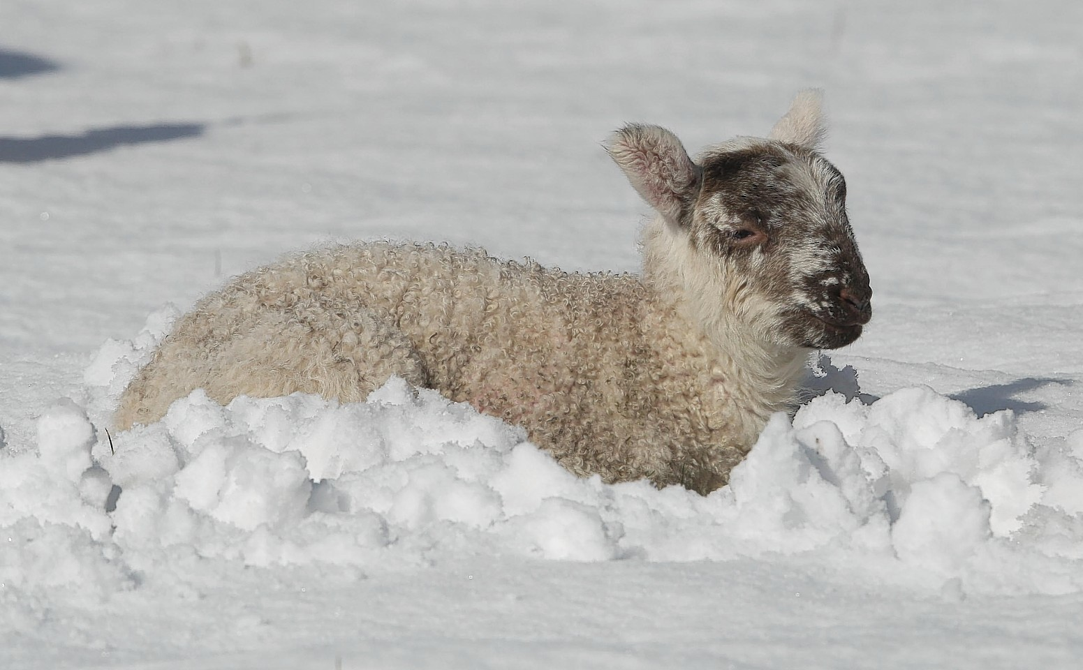 A lamb in the snow at a farm near Inverness. Photo by Peter Jolly