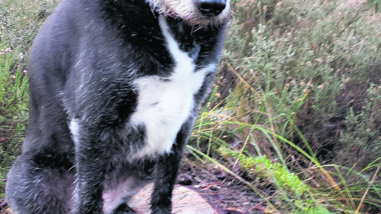 This is Rowan, the collie/lurcher cross who lives with Andy and Elizabeth Findlay near Ardersier, Inverness.