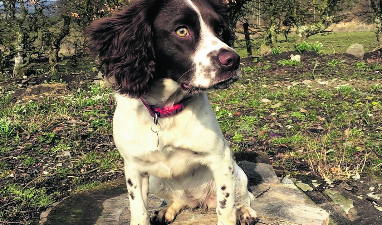 Millie the springer spaniel lives with the Stewart family and their six horses and two cats in Fettercairn.