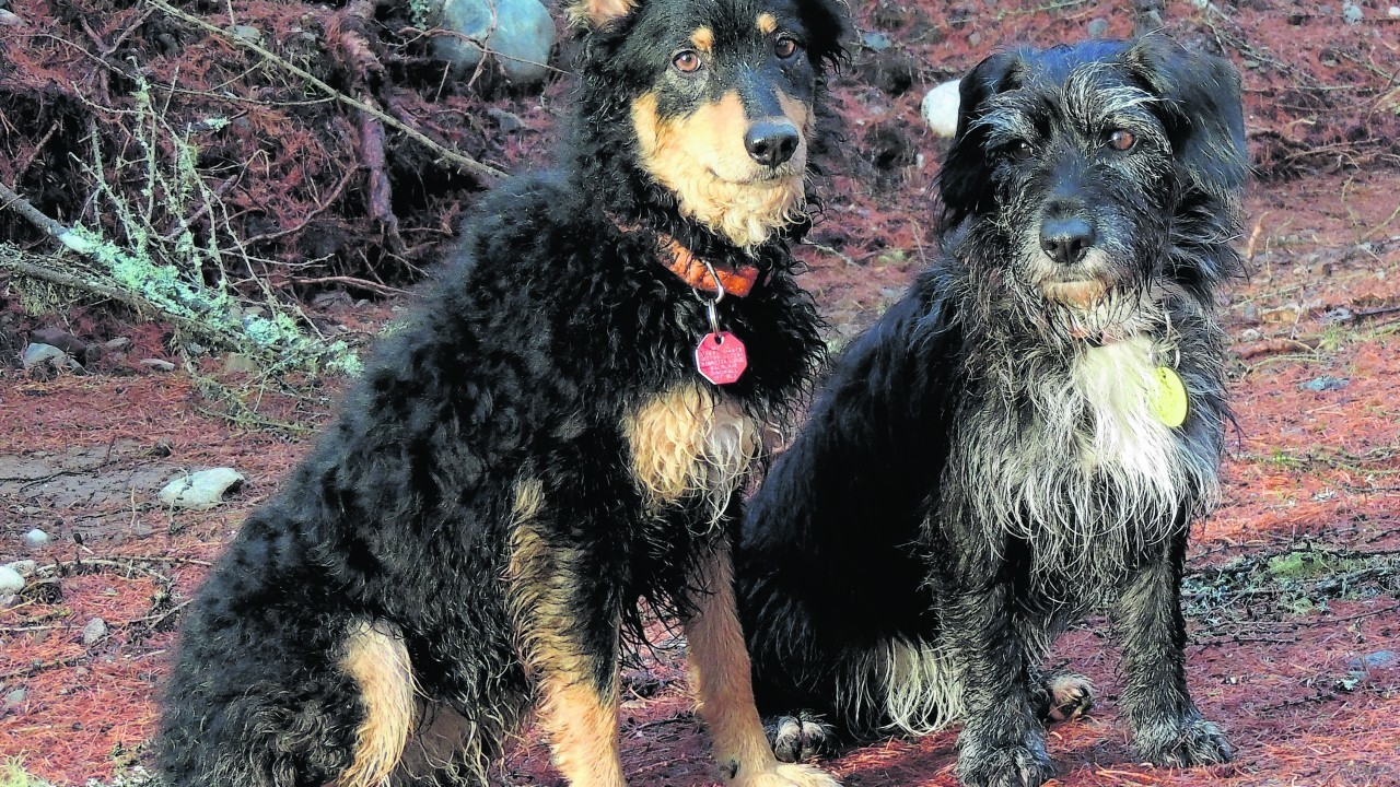Meet Mouse (on the left) and Ruby (on the right). Mouse is a street dog from Croatia and Ruby is a Munlochy Animal Aid rescue. They live with Fran Lockhart at Balblair, Dingwall.