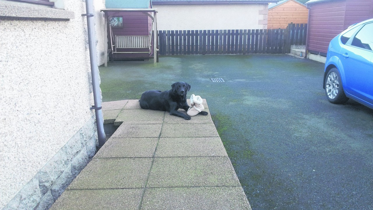 This is Flymo the black Labrador, who loves to steal shoes. He is pictured outside with Granny's slippers. He lives with the Kemp family at St Katherines, Inverurie.