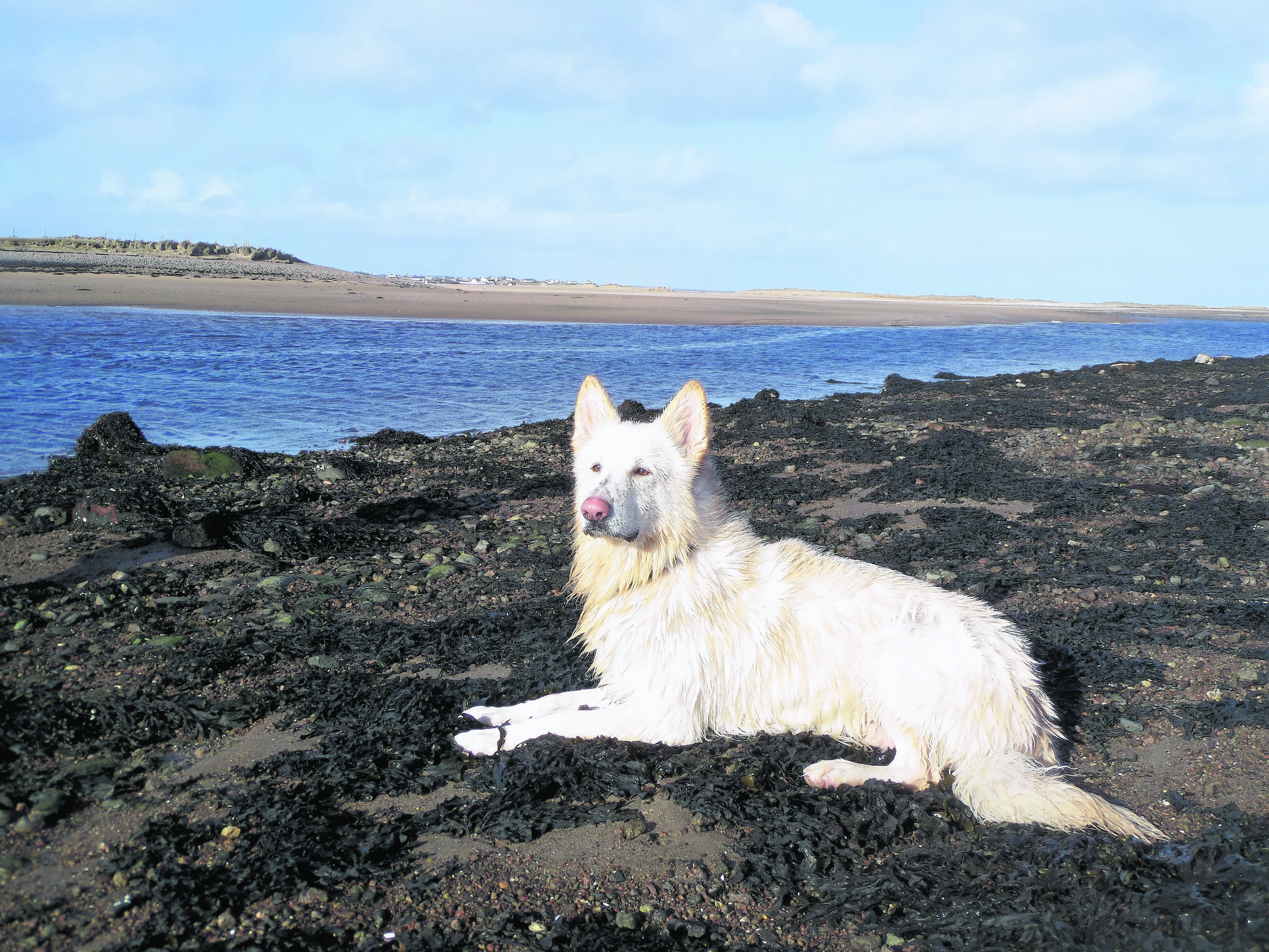 Yogi is a white German Shepherd and lives with Debbie Bremner in Stornoway, Lewis. Yogi is our canvas winner this week.