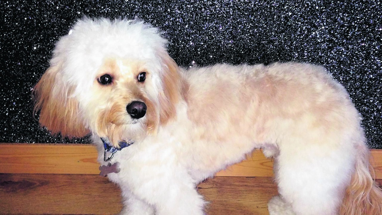 This is Frank the cavapoo from Peterhead. Frank lives with Leah Davis.