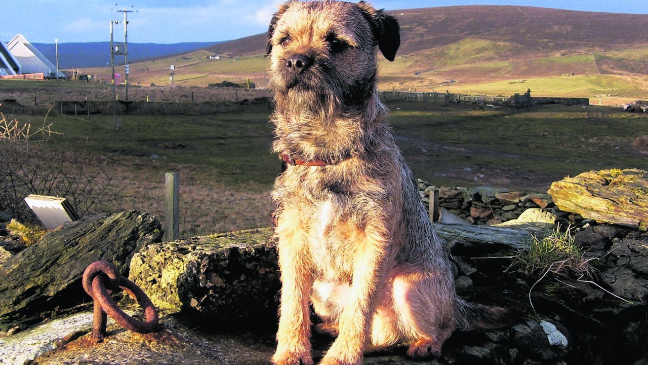 This is Kosbie, the three year old border terrier. He was born in Shetland and lives with the Cerasale family in Norwick, the northernmost part of Unst.