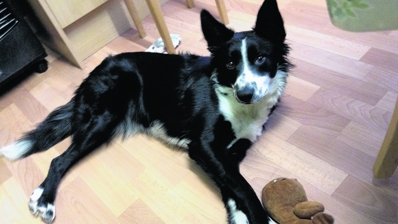 Misty the border collie, lives with George and Liz Cormack in Castletown, Thurso.