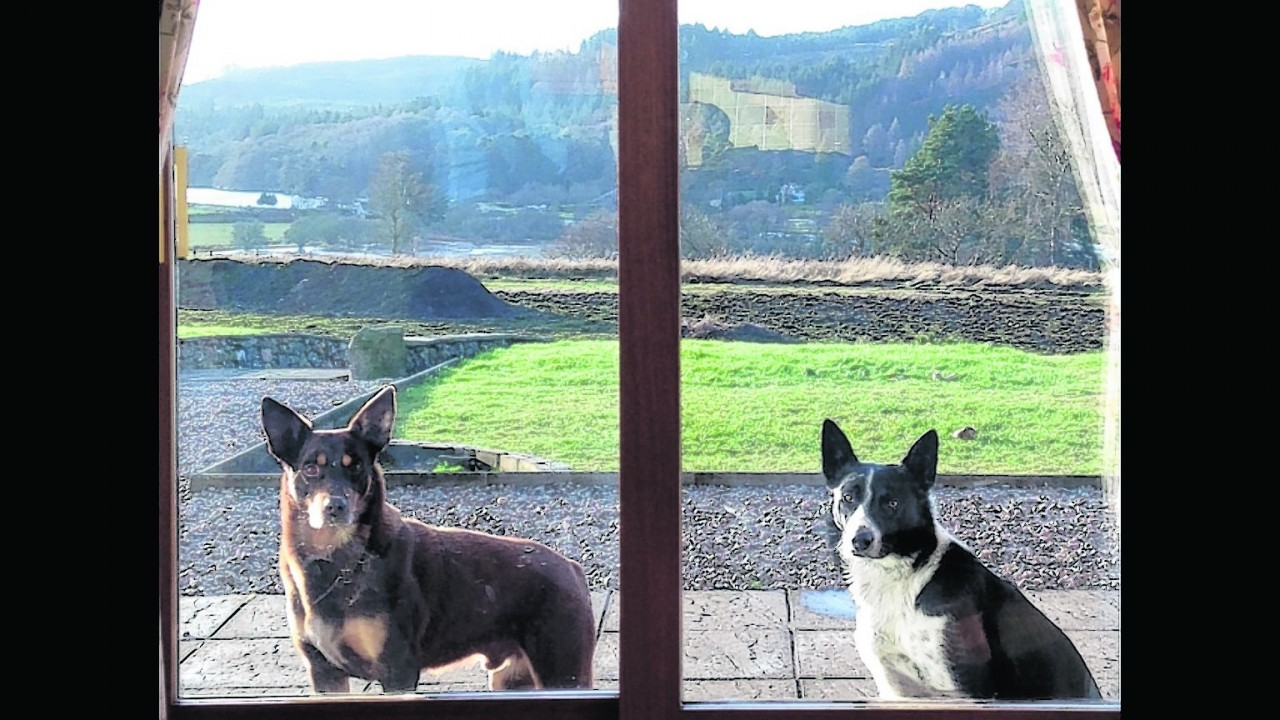 Ski the Kelpie and Zac the collie live with Andrew Smith in Aberchalder, Invergarry.