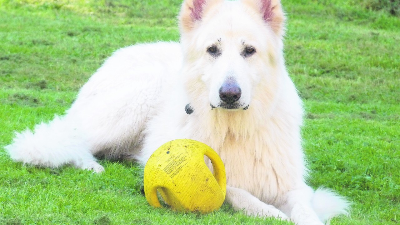 This is Taz he is eight years old and was a rescue white German shepherd. He lives with the McDonald family at Invergarry.