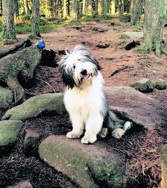 This is a photo of Alfie the bearded collie on Bennachie. He is owned by Peter and Janice of Belhelvie, Aberdeenshire.