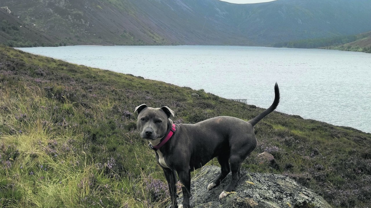 Blue is a two year old staffie who lives in Insch with the Robertson Family. This is her on the start of the walk around Loch Muick.
