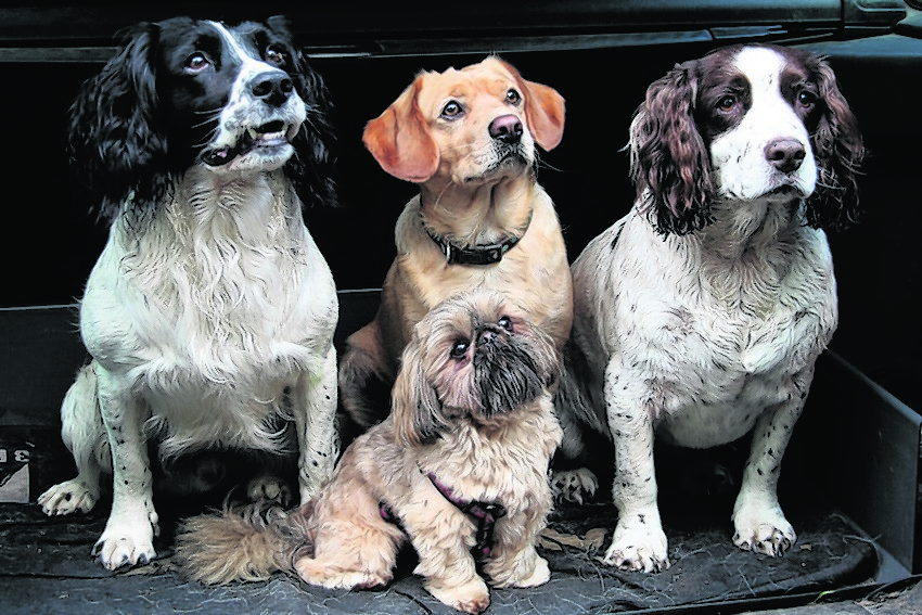 Here are Scooby, Olly and Springer with little Teddy to the fore. They live with Des Colhoun in Lossiemouth.