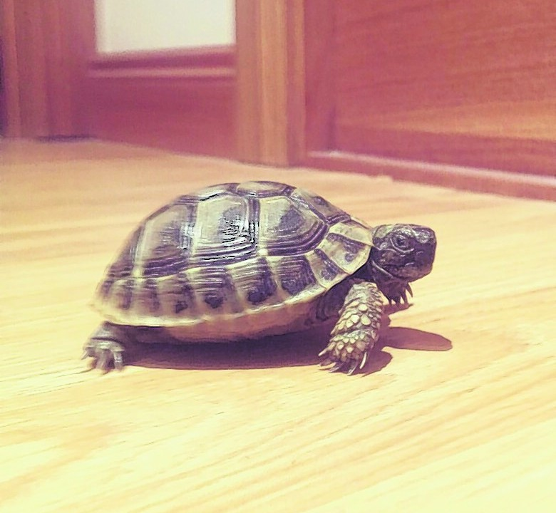 Teddy the tortoise lives with Steven and Tiffany in Peterhead.