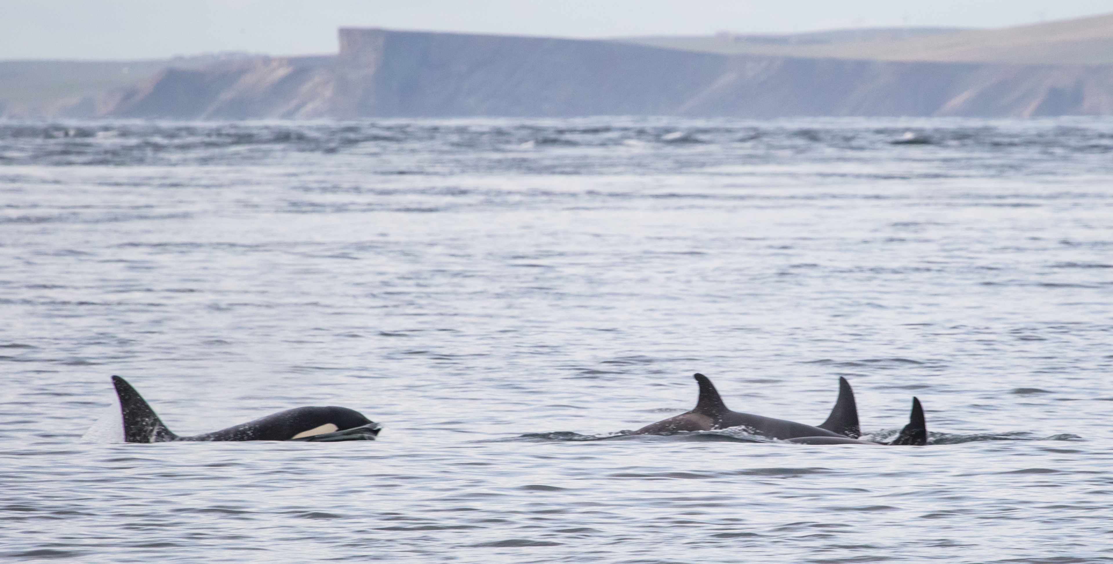 Killer whales playing off the coast of Scotland. Picture credit: Karen Munro